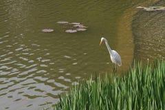 站立在湖的一只白色鸟 库存图片