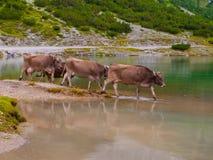 站立在湖的三头高山母牛 免版税库存照片