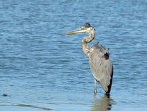 站立在湖的伟大蓝色的苍鹭的巢 库存图片