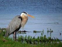 站立在湖的伟大蓝色的苍鹭的巢 免版税库存照片