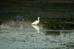 站立在湖的小白鹭 免版税库存照片