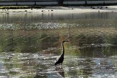 站立在湖的苍鹭 免版税库存照片