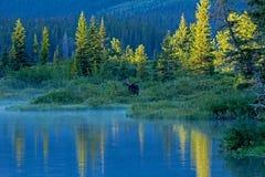 站立在湖边缘的公牛麋  免版税库存照片