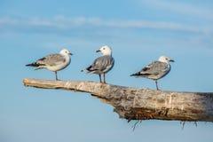 站立在漂流木头的三只海鸥注册新的Z海岸  免版税库存照片