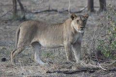站立在灌木下在遗骸旁边的母非洲狮子 库存照片