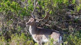 站立在灌木之间的美丽的褐斑病小鹿在森林里 免版税库存图片