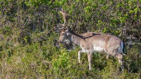 站立在灌木之间的美丽的褐斑病小鹿在森林里 库存照片
