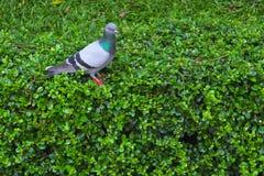 站立在灌木的鸽子 库存图片
