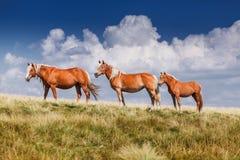 站立在牧场地的小组三匹马 库存照片