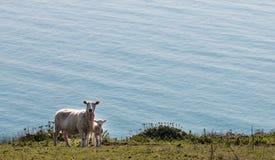 站立在牧场地的绵羊和羊羔 库存照片