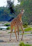 站立在玛拉河附近的一头孤立长颈鹿朝前看 免版税库存图片