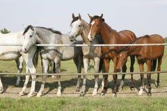 站立在畜栏的良种幼小马给站立在畜栏门的两匹良种幼小马装门 免版税库存图片
