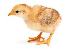 站立在白色的一只小的鸡 免版税库存照片