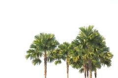 站立在白色背景的棕榈树 图库摄影