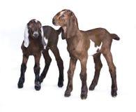 站立在白色背景的Tvo Nubian羊羔 免版税库存照片