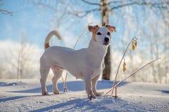 站立在白色雪的白色狗 免版税库存图片