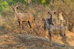 站立在白蚁土墩的更加伟大的Kudu公牛 库存照片
