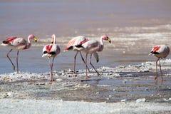 站立在盐水湖,玻利维亚的小组火鸟 库存图片