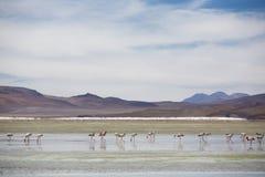 站立在盐水湖,玻利维亚的小组火鸟 免版税库存照片