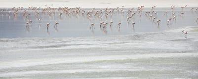 站立在盐水湖,玻利维亚的小组火鸟 图库摄影