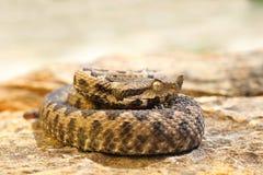 站立在石头的幼小毒蛇 免版税库存照片
