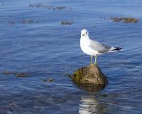 站立在石头的海鸥 免版税库存图片