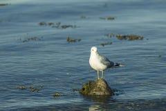 站立在石头的海鸥 库存照片