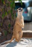 站立在石头的Meerkat 免版税库存图片