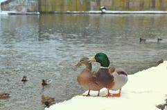 站立在码头的两只野生野鸭鸭子盖用雪在河附近 狂放的自然生活,哺养的鸭子,走在浓缩冬天的公园 库存照片