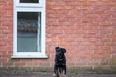 站立在砖墙前面的逗人喜爱的小狗 免版税图库摄影