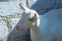 站立在砖墙背景的白色山羊 库存照片