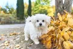 站立在秋叶旁边的马耳他狗 免版税库存图片