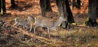 站立在秋天天的白尾鹿 库存照片