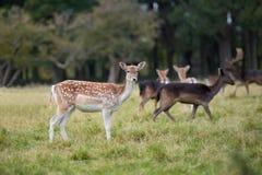 站立在秋天木头的特写镜头小鹿 库存照片