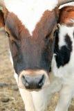 站立在秸杆牧场地的一头棕色白色母牛小牛的画象 库存照片