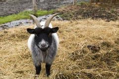 站立在秸杆的大壮健公黑白矮小山羊 库存照片