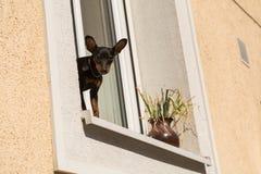 站立在窗口基石的小狗 免版税库存图片
