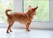 站立在窗口基石的红色奇瓦瓦狗狗 免版税图库摄影