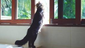 站立在窗口的滑稽的缅因树狸猫看室外在棕榈树在热带密林,当旅行时 免版税库存照片