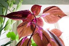 站立在窗口附近的花在阳光下 库存照片
