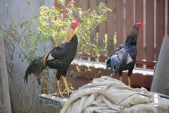 站立在笼子的雄斗鸡的泰国好斗的公鸡 免版税库存图片