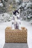 站立在篮子的西伯利亚爱斯基摩人 库存图片