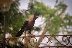 站立在篱芭的乌鸦 免版税库存图片