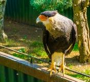 站立在篱芭的有顶饰长腿兀鹰的特写镜头画象,热带鸷从美国的 库存图片