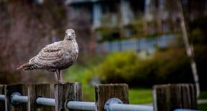 站立在篱芭的海鸥在海洋旁边 免版税库存图片