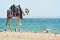 在红海海滩的骆驼 免版税库存照片