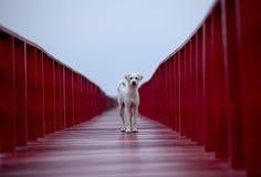 站立在红色木桥梁和FOT看未来的无家可归的狗 免版税库存照片