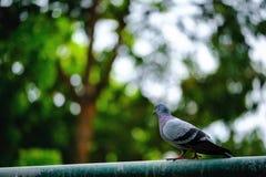 站立在绿色自然背景的鸽子鸟充分的身体 免版税库存图片