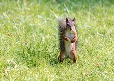 站立在绿色草坪的小的红松鼠 免版税库存照片