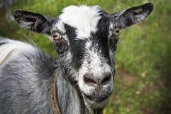 站立在绿色草坪的山羊 库存照片